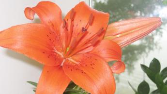 Lilie für's Klassenzimmer pflanzen